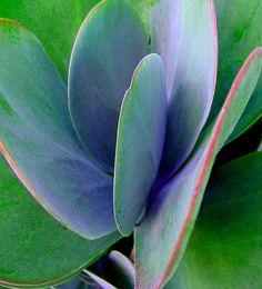 Kalanchoe luciae (paddle plant) color-enhanced (it's not that blue)