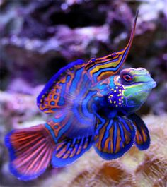 """An amazing colorful marine fish species for reef tank. It is very easy to """"fall in love"""" with this beautiful fish.The mandarinfish or Mandarin is native to the Pacific. It is a small, brightly-colored member of the dragonet family . It is popular in the saltwater aquarium trade although they are considered difficult to keep,"""