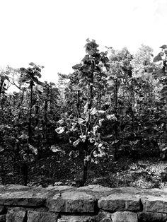 Dark vines