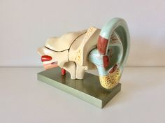 Excited to share the latest addition to my #etsy shop: Antique Anatomical Ear Model circa 1930, Vintage Teaching Aid Model of an Ear, Scientific Educational Model. https://etsy.me/2Ki4X7n #housewares #homedecor #beige #housewarming #rainbow #entryway #macabre #curios #