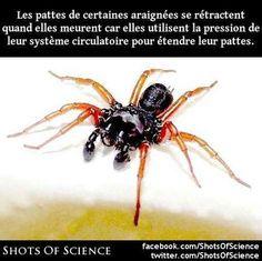 Lien (en anglais) : http://www.iflscience.com/plants-and-animals/why-do-spiders-curl-when-they-die #araignées #pattes Les pattes de certaines araignées se rétractent quand elles meurent car elles utilisent la pression de leur système circulatoire pour étendre leur pattes.
