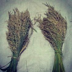 Simpan #benih untuk musim tanam yang akan datang. Padi Organik Sertani 1 & Sertani 8 @P4S Karunia Alam Sejahtera.