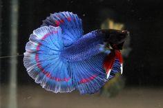 Photos - Fish - Red circle butterfly Betta Fish Tank, Beta Fish, Colorful Fish, Tropical Fish, Planted Aquarium, Aquarium Fish, Poisson Combatant, Siamese Fighting Fish, Two Fish