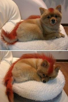 Omg! My dogs getting this hair cut and dyed!!!  Haha poorrr ehmoe :)