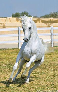 Arabian horse - title White Beauty