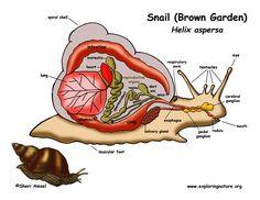 http://www.exploringnature.org/graphics/teaching_aids/snail_diagram_72.jpg