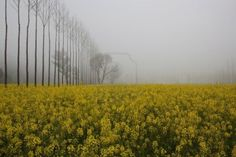 Mustard field, Punjab, India