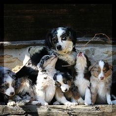 Australian Shepherd with puppies