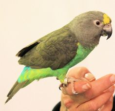 meyers parrot | Flickr - Photo Sharing!