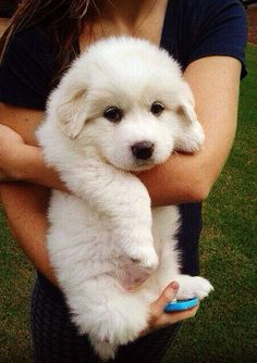 My sweet baby Pyrenees, Rajah. Pyrenees Puppies, Great Pyrenees Dog, Huge Dogs, Giant Dogs, Cute Little Puppies, Baby Puppies, Baby Animals, Cute Animals, Dog Rules