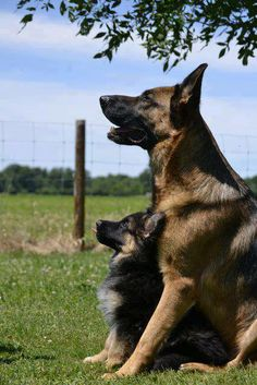 this picture of the two german sheppeds are so cute