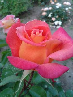 Agaves, Beautiful Scenery, Beautiful Roses, Amazing Flowers, Pretty Flowers, Pink Roses, Pink Flowers, Rose Photography, True Nature
