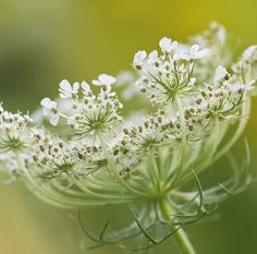 ~Daucus carota - Queen Anne's Lace - Use as filler for a lacy, 'transparent' effect~ Queen Anne's Lace Flowers, White Flowers, Beautiful Flowers, Queen Annes Lace, Foto Art, White Gardens, Gras, Flower Pictures, My Flower