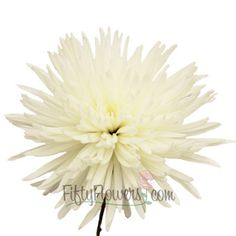 """FiftyFlowers.com - Anastasia Spider White Flowers. Maybe one large spider mum(4"""") instead of one hydrangea. Or three small spider mums (2"""") with one hydrangea"""