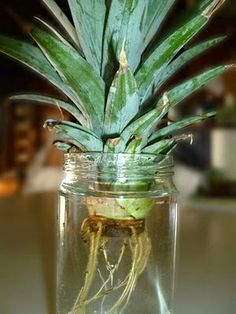 Grow a pineapple from a pineapple top. Within 2 weeks, some nice roots should develop. With time, the pineapple leaves will also get longer and bigger. Also, it's good to change the water, clean the jar occasionally, and wash off any green algae on the roots. Plant in soil when ready. In about 2 years it will produce fruit..
