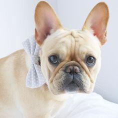 Beautiful Lucie in her Downing Bow Tie. Girls can wear bow ties too - either as a bow tie or as a bow!   Repost @lucie.lefrenchie  #dogsinbowties #bowtie #dogbowtie #dapperdog #brooklyn #handmade #shopsmall #brooklynbowtied #madeinbrooklyn #rescuedog #adoptdontshop #etsy #dogsofbrooklyn #dogsofinstagram #etsygifts #barkbox #calledtobecreative #marthastewartpets #ohwowyes #dogsinbetween #ruffpost #pawpack #pawstruck #barkpack #bestwoof #dogsofinstaworld #houndsbazaar #creativelifehappylife by…
