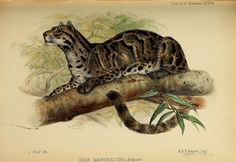 Pardofelis marmorata - the marbled cat by BioDivLibrary on Flickr.  Proceedings of the Zoological Society of London..London :Academic Press, [etc.],1833-1965..biodiversitylibrary.org/page/37027983