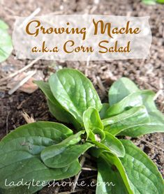 How to Grow Mache, a.k.a Corn Salad. An easy and very hardy crop to grow. Will germinate in cold soil and mature extra fast! #LadyLeesHome