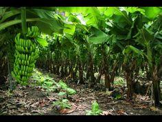 Características de la Producción de Plátano Orgánico  - TvAgro por Juan ...