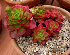 Red tipped bright lime green succulent