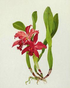 Andrey Nikolaevich Avinoff, Orchid, Early 20th century