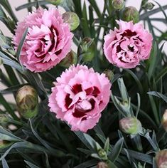 Dianthus 'Scent First Raspberry Surprise'