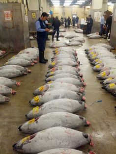 Tsukiji market is the funniest market fish in the world , every day sells 3,000 tons of fishes
