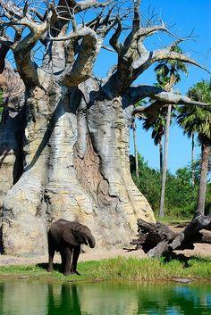 A giant baobab tree, make the elephant look small