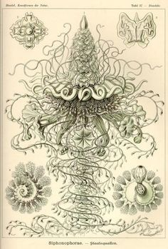 "Illustration by Ernst Haeckel: ""biologist, naturalist, philosopher, physician, professor and artist who discovered, described and named thousands of new species, mapped a genealogical tree relating all life forms, and coined many terms in biology, including anthropogeny, ecology, phylum, phylogeny, and the kingdom Protista."" [Wikipedia]"