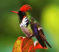 Frilled coquette (Lophornis magnificus) hummingbird. Found only in Brazil.
