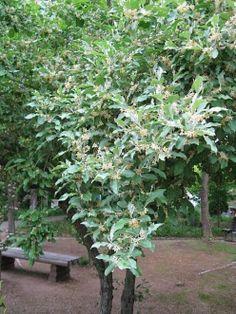 Elaeagnus umbellata (Autumn Olive)