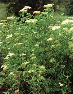 Quail-Friendly Plants of the Midwest Elderberry And Elderflower, Elderberry Bush, Shade Garden, Witch's Garden, Plant Zombie, Identify Plant, Hedge Witch, Wild Edibles, Hens And Chicks