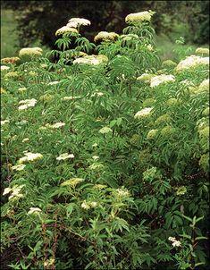 """Elderberry""  Dense foliage of elderberry thickets"