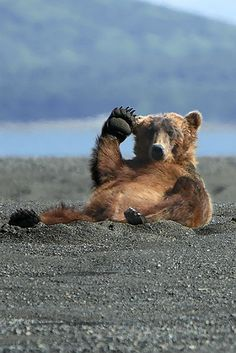 Just a bear on a beach, just saying high and waving at you.