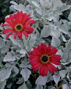 The Ravers® Cherry Frost™ - African Daisy - Arctotis hybrid Sun- Love the contrast.  Annual