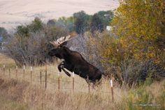 "A Moose on the Move.  Road Trekin Adventures Free 2 Be ""tm"""