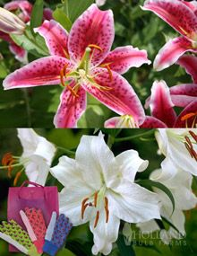 Mother's Day Gift: Lovely Lilies  18 lily bulbs + gardening gloves