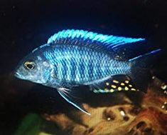 Order imported African Cichlid Species from West Africa, Lake Malawi, Lake Victoria, Lake Tanganyika and the Rift Lakes. Aquarium Setup, Home Aquarium, Tropical Aquarium, Aquarium Fish, Malawi Cichlids, African Cichlids, Blue Blaze, Lake Tanganyika, Real Coffee