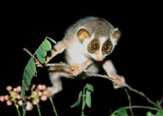 This is a slender loris. It's also cool, but it's not a tarsier. Together with lemurs, galagos, and tarsiers, these primitive primates are grouped together as the (non-monophyletic) prosimians.