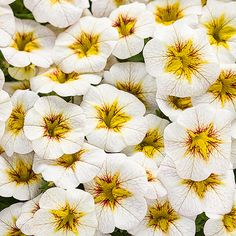 Perfect for hanging baskets or window boxes, Superbells 'Frostfire' calibrachoa is smothered in white flowers with scarlet-and-yellow throats all summer long. The new introduction was bred to be heat-tolerant so it will keep on flowering even when the temperatures soar. Plus, plants are self cleaning, so there's no need to remove the faded flowers to keep plants looking tidy. Name: Calibrachoa Superbells 'Frostfire' Growing Conditions: full sun Size: 6-10 inches tall, 12-24 inches wide Plant...