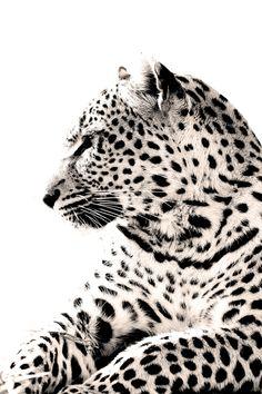 Leopard Portrait by Rudi Hulshof, via 500px