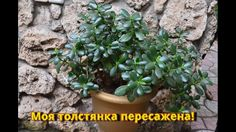 Денежное дерево.  Как пересадить денежное дерево для хорошего роста?!