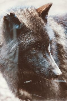 Gray Wolf || Garret Voight