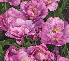 NEW! Tulip Tabledance from White Flower Farm. The petals are rich pink with an occasional purple brushstroke, fading to a broad flame of silvery pink at the edge. As the blooms open fully, they turn purple and the interplay between the shades is pure magic. We love this shorter variety tucked in a sea of blue Forget-me-nots at the front of the border. Blooms late in season.