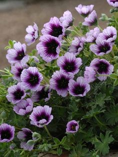 want to try growing a hardy geranium next summerGeranium Joyous Heart. want to try growing a hardy geranium next summer Perennial Geranium, Cranesbill Geranium, Geranium Plant, Hardy Geranium, Malva, Flower Seeds, Flower Pots, Purple Flowers, Beautiful Flowers