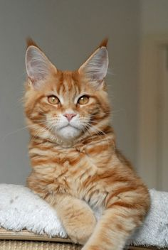 Coppermines Maine Coon http://www.mainecoonguide.com/where-to-find-maine-coon-kittens-for-sale/