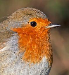 Robin - Flickr - Photo Sharing!