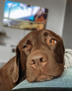 Labrador Retrievers are known for shedding a lot of hair all year round. Let's find out how to deal with Labrador Retriever Shedding. Labrador Retriever Chocolate, Chocolate Lab Puppies, Black Labrador Retriever, Golden Retriever, Retriever Puppy, Chocolate Labs, Cute Dogs And Puppies, Baby Dogs, I Love Dogs
