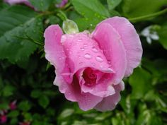 New Pink Rose in the Rain