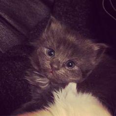 #babykitten #grey #thiny #blueeyes #kitten #baby #threeweeks #fluffy #cute #adorable #sweet Black Kittens, Blue Eyes, Photo And Video, Grey, Cats, Sweet, Animals, Instagram, Gray
